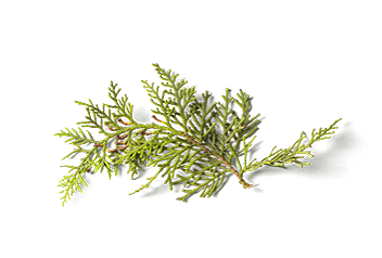 Pine flavour